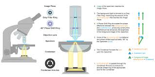compound light microscope facts microscopes microbiology