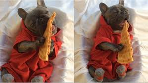 pizza dog bed video adorable french bulldog really loves a good slice of pizza