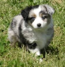 australian shepherd dog for sale toy australian shepherd cute animals pinterest toy