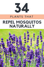the 25 best anti mosquito plants ideas on pinterest anti