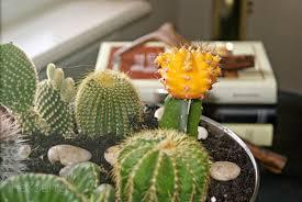 the koenigs create diy indoor cactus garden