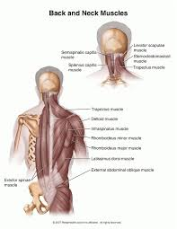 Anatomy Of Body Muscles Layers Of Muscles In The Upper Back Note Position Of Most Outer
