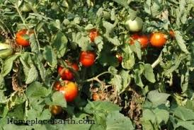 Diseases Of Tomato Plants - disease prevention for tomatoes