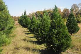 christmas tree crop shapes up to be good mississippi state