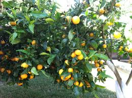 turning the backyard into an orchard
