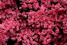 file beautiful pink spring flowers west virginia forestwander