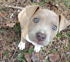 american pitbull terrier dog images best 10 pit bull dogs ideas on pinterest pictures of pitbull