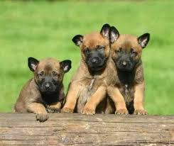belgian sheepdog puppies texas belgian malinois puppies for sale belgian shepherd malinoa