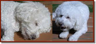 bichon frise 17 years old 7 98 html