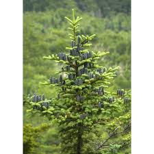 wholesale fraser douglas fir trees for sale mi cold farm