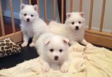 american eskimo dog breeders edmonton american eskimo dogs puppies for sale classifieds at