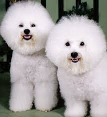 bichon frise breed standard such good dogs breed of the month bichon frise
