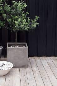 best 25 olive tree ideas on indoor olive tree santa