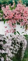 Fragrant Climbing Plant - types of fragrant climbing plants jardín jardines y ideas para