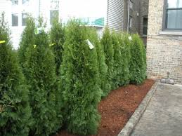 glamorous privacy trees for small backyards pictures decoration