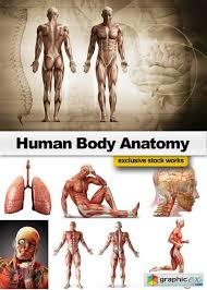 Loin Human Anatomy Human Body Anatomy 25xjpg Free Download Vector Stock Image
