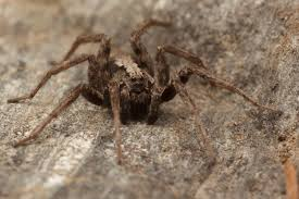 how to tell if a spider is not a brown recluse spiderbytes