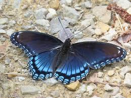 eastern tiger swallowtail butterflies and black butterflies of all