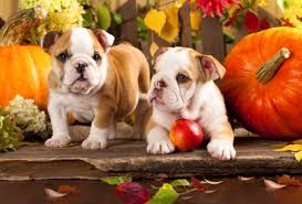 images of puppies at thanksgiving impremedia net