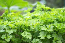 herbe cuisine herbe cuisine jardin avec de jeunes usines vertes de persil aliment