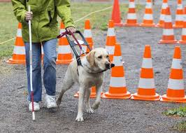 How Does A Guide Dog Help A Blind Person How Do Guide Dogs Work Sandy U0027s View