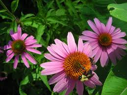 native plants of virginia how to use the fact sheets master gardeners of northern virginia