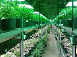 Light Cycle For Weed Plants Not Flowering Make Sure You Know These Simple Fixes