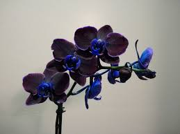 black orchid flower black orchid pesquisa nature flowers