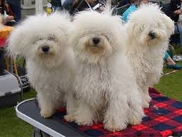 bichon frise uae bolognese dog breed information and pictures