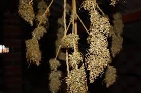 chambre de sechage cannabis les secrets d une récolte de cannabis parfaite