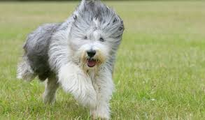 bearded collie adoption bearded collie breed information