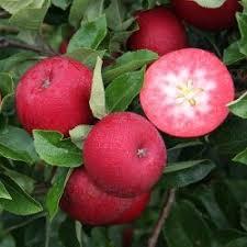 apple tree rosette pomona fruits buy fruit trees soft fruit