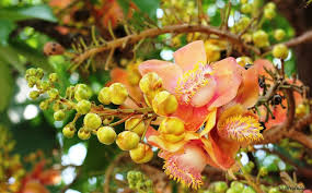 cannon tree flowers travel tales from india and abroad