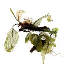mosses and floating plants for aquarium tropica aquarium plants