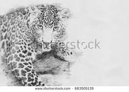 leopard black white sketch pencil stock illustration 683491423