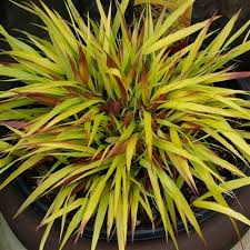 1180 best great plants images on ornamental grasses