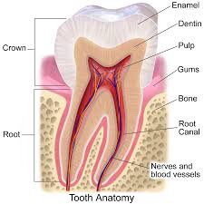 Anatomy Behind The Ear Gums Wikipedia