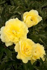 yellow peonies yumi beauty itoh peony monrovia yumi beauty itoh peony