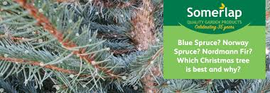 norway spruce vs blue spruce vs nordmann fir which is the best