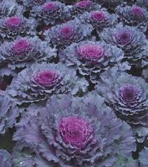 ornamental cabbage brassica oleracea osaka ornamental