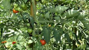garden q u0026a tomato problems baltimore sun