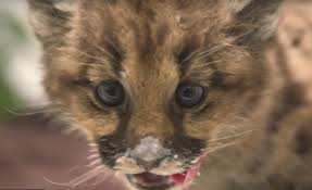 an orphaned puma meets the public at the mn zoo and another is on