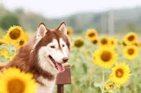 australian shepherd husky lab mix 5 best supplements for your dog dogtime