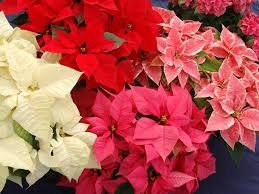 flower of the month u2013 poinsettia flowers victoria