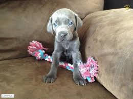 puppies for sale pa weimaraner puppies for sale in pa 28 free wallpaper