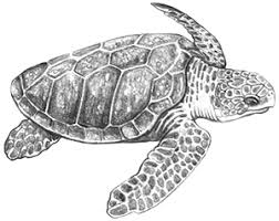 loggerhead sea turtle png