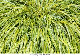 striped ornamental grass stock photos striped ornamental grass