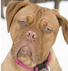 Turner And Hutch Beasley A Dogue De Bordeaux Starred With Tom Hanks In