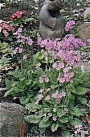 primula saxatilis north american rock garden society