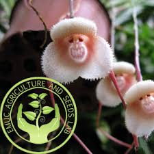 Monkey Orchid Buy Beautiful Orchid White Monkey Face Orchids Seeds Multiple